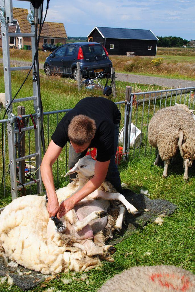 e351e45a1f5c72 Zo scheren wij op Texel de schapenwol voor onze dekbedden