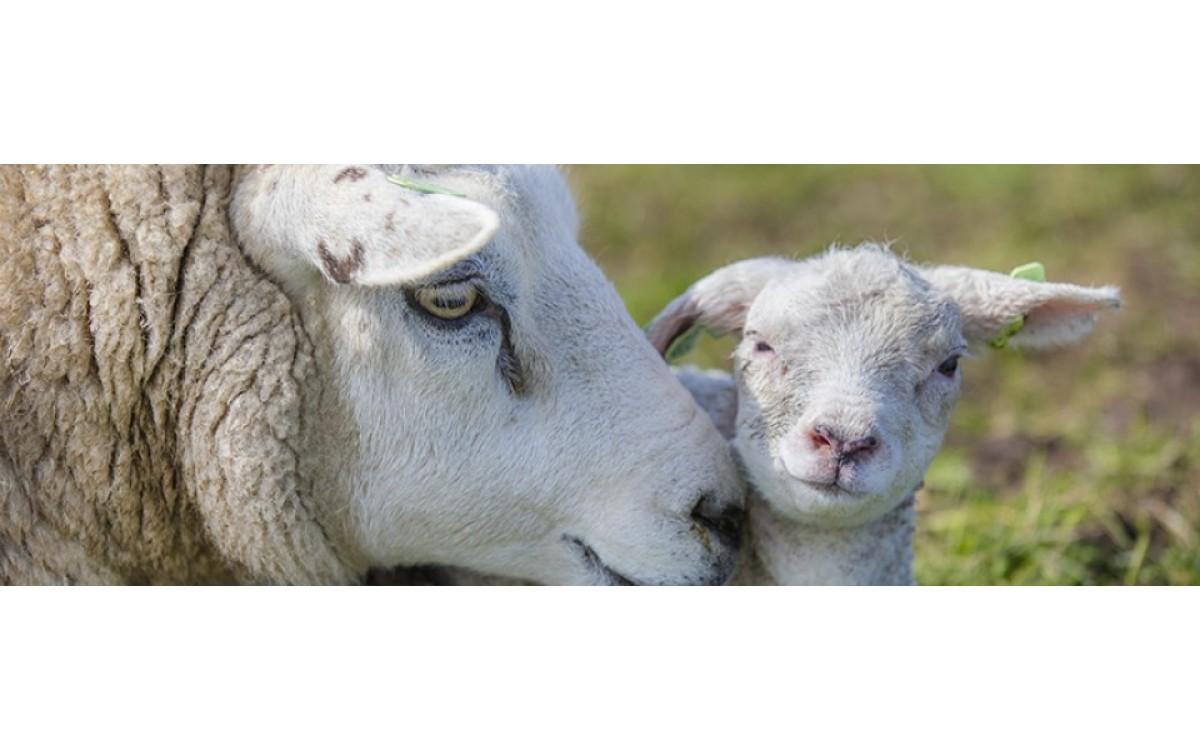 Vier hartverwarmde feiten over het Texelse schaap