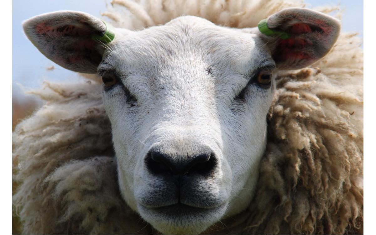 Zo scheren wij op Texel de schapenwol voor onze dekbedden